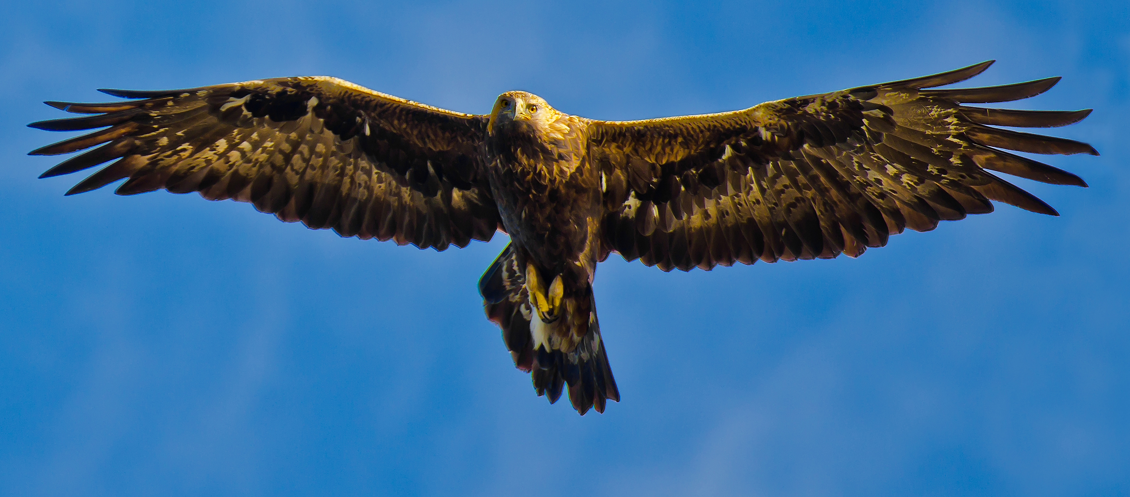 Photo by: Ib Dyhr. Adult golden eagle.